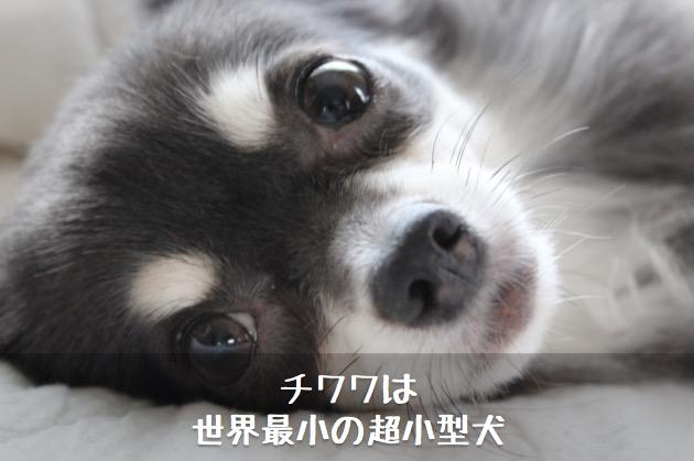 チワワは世界最小の超小型犬